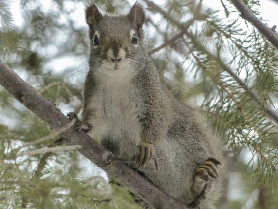 squirrel-300246_1280